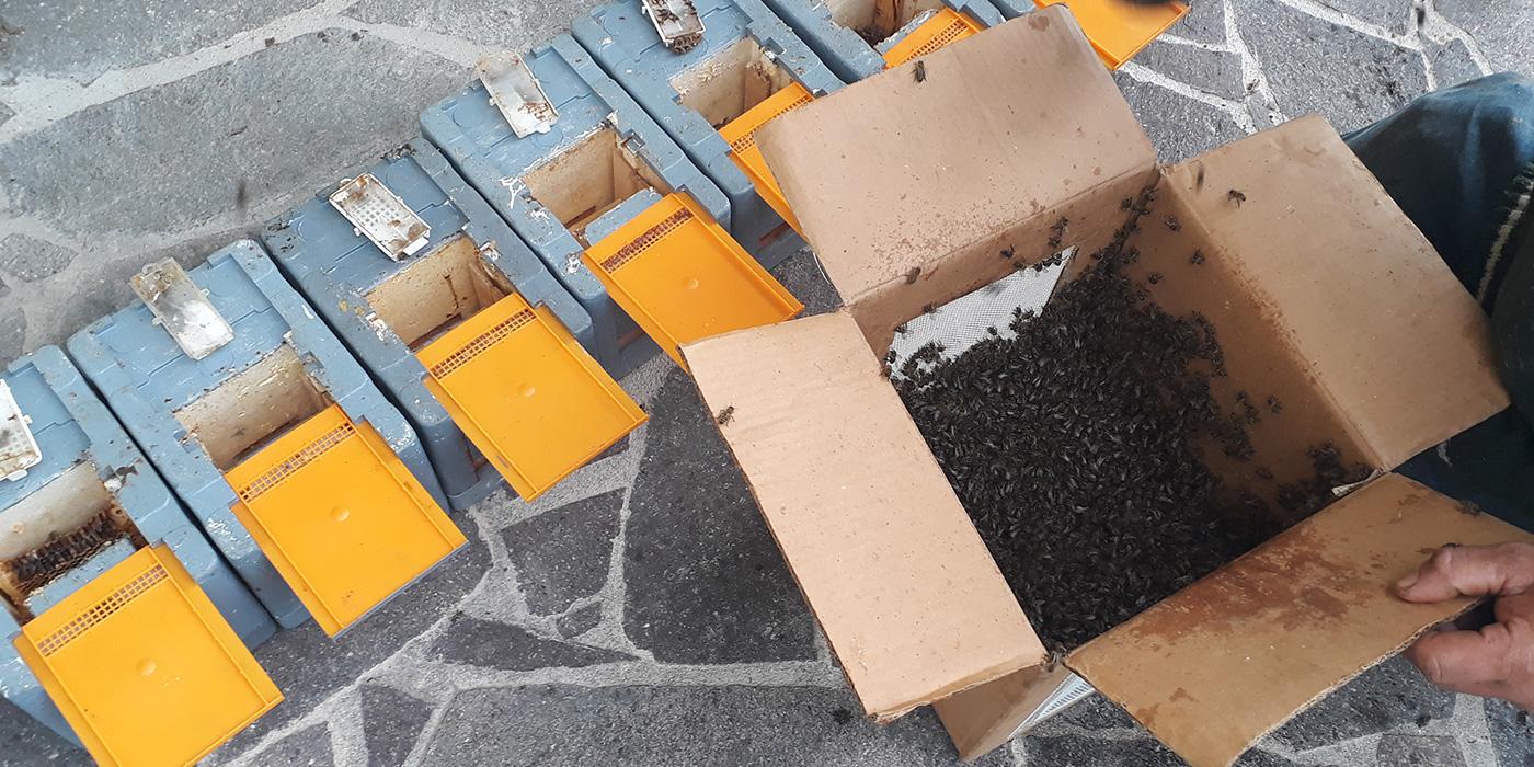 Vermehrung und Züchtung von Honigbienen